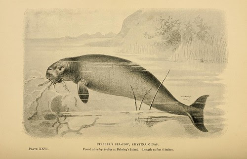 Steller's Sea-Cow, Rhytina gigas
