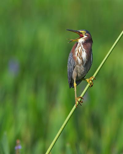 Green Heron on Reed (Wild Bird)