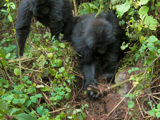 Gorillas Seen Dismantling Poachers' Traps In The Wild - A First