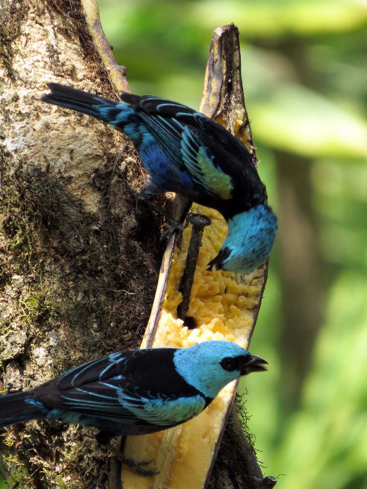 Blue-necked Tanagers