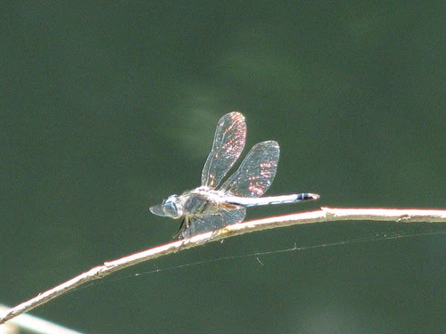Twinkly dragonfly