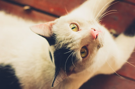 8 Common Ear Problems in Cats