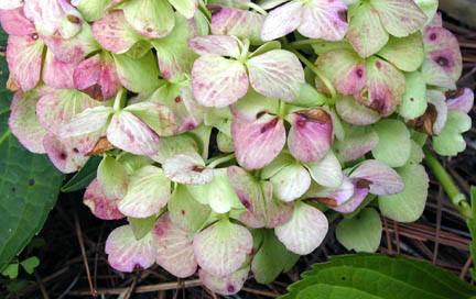 White hydrangea, turned green then pink was added