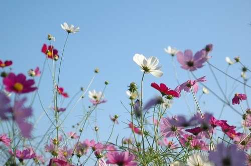 blue sky, cosmos, flower, flowers, nature, photography, pink, wildflowers, spring, sky, wild, woldflowers, waving, red, Leaving