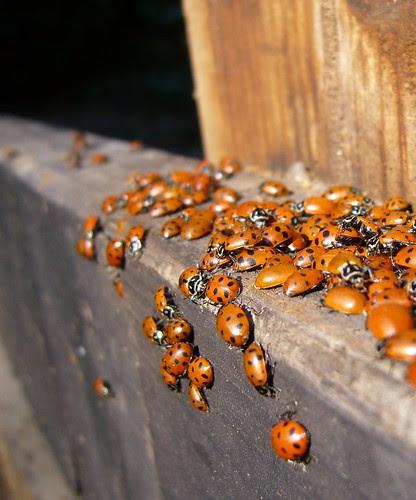 Frey Creek ladybugs