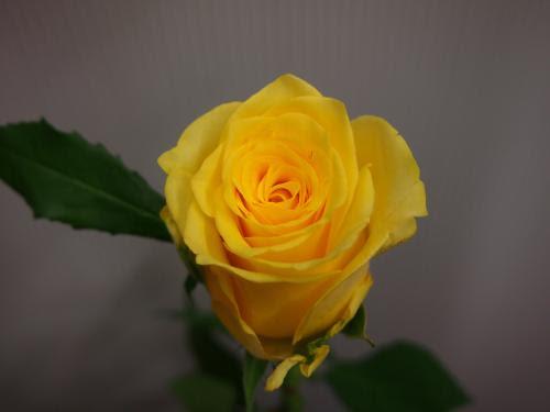 バラ オレンジ 黄色系 有限会社エブリーフラワー