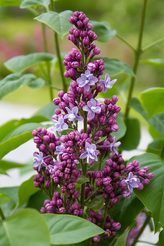 Sirel  'Catherine Havemeyer' / Syringa vulgaris / Lilac