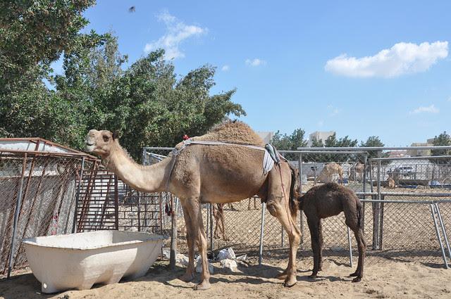 Camel souk-Doha-fev (18)