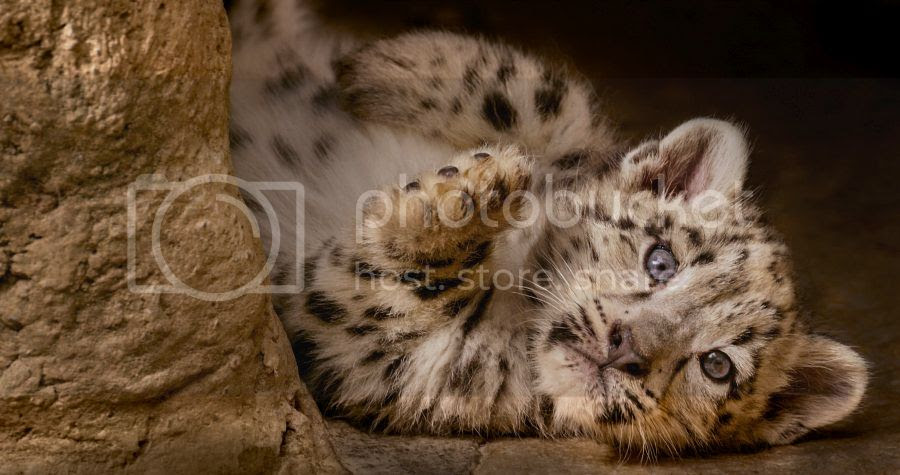 BornInChina Snow Leopard
