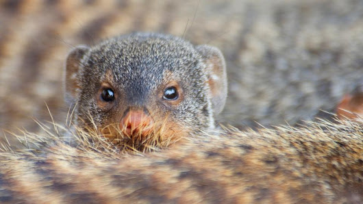 Star-crossed mongooses risk their lives to find mates