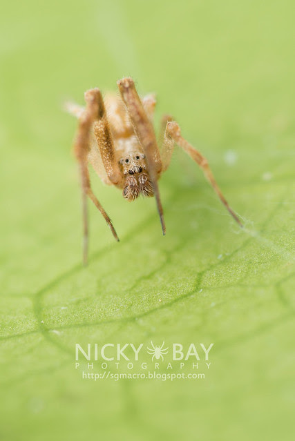 Feather-Legged Spider (Uloboridae) - DSC_6462