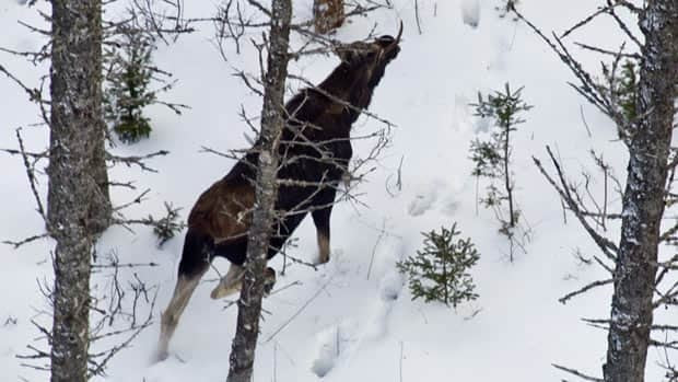 Researchers counted the number of moose in Fundy National Park on Sunday. (Parks Canada)