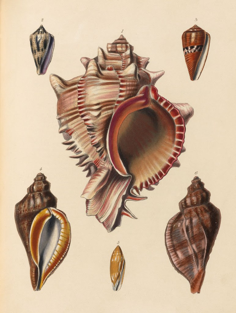 1820s zoology of Captain Beechey - Shells (1)