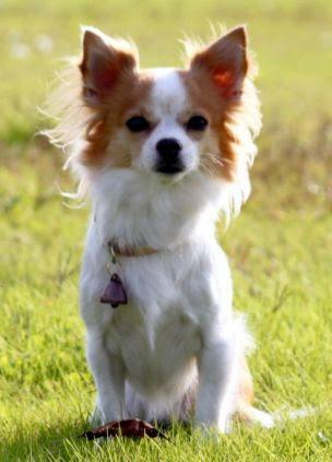 momo chihuahua rescue dog 304x423 Chihuahua Police Dog?