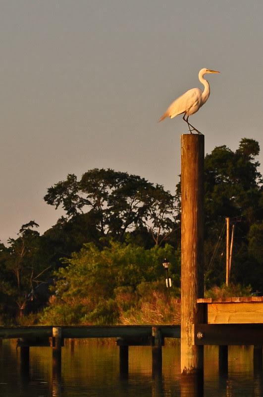Great Egret (2)