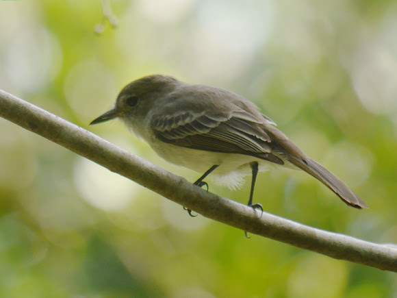 Ed Gaillard: birds &emdash; Le Sagra's FLycatcher, New Providence, Bahamas
