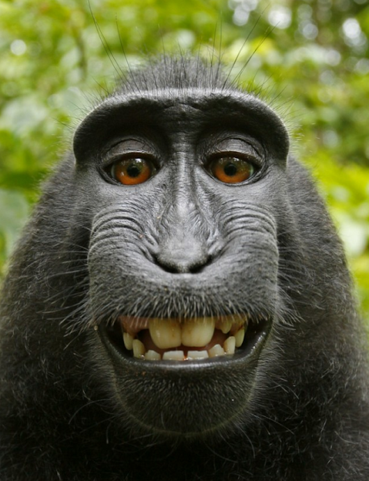 Monkey's selfie cannot be copyrighted, US regulators say