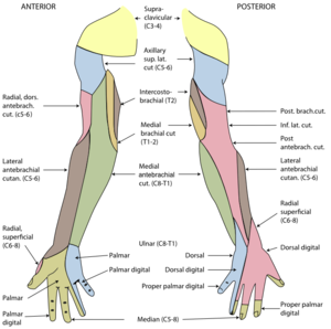 The cutaneous innervation of the right upper l...
