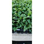 Symphyotrichum prenanthoides DP50 Plugs   Conservation Quality Plants by ArcheWild