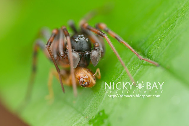 Ground Spider (Zodariidae) - DSC_4736