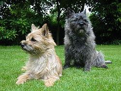 Cairn Terrier Top Terriers Breeds