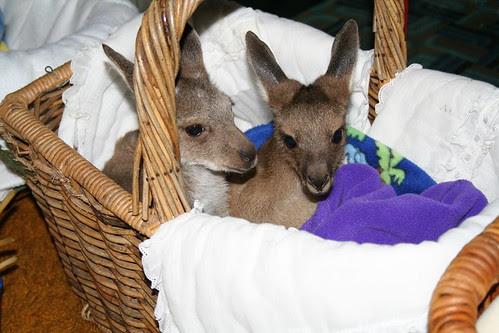 Basket of Joeys