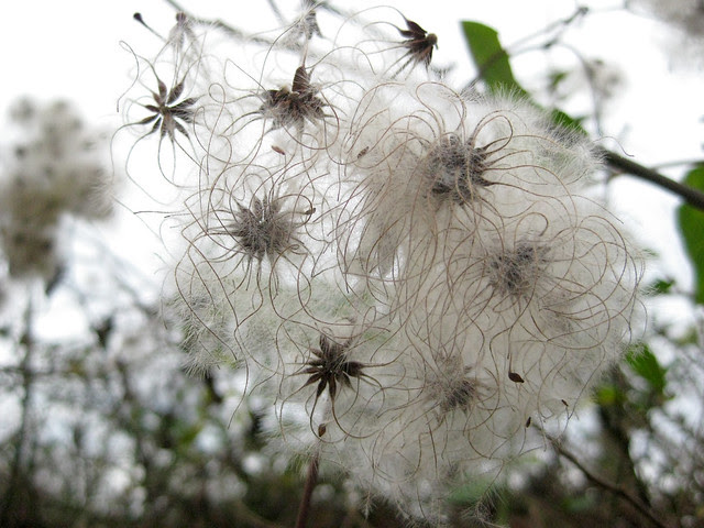 spidery weed seeds