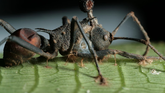 The Fungus That Turns Ants Into Zombies Is More Diabolical Than We Realized