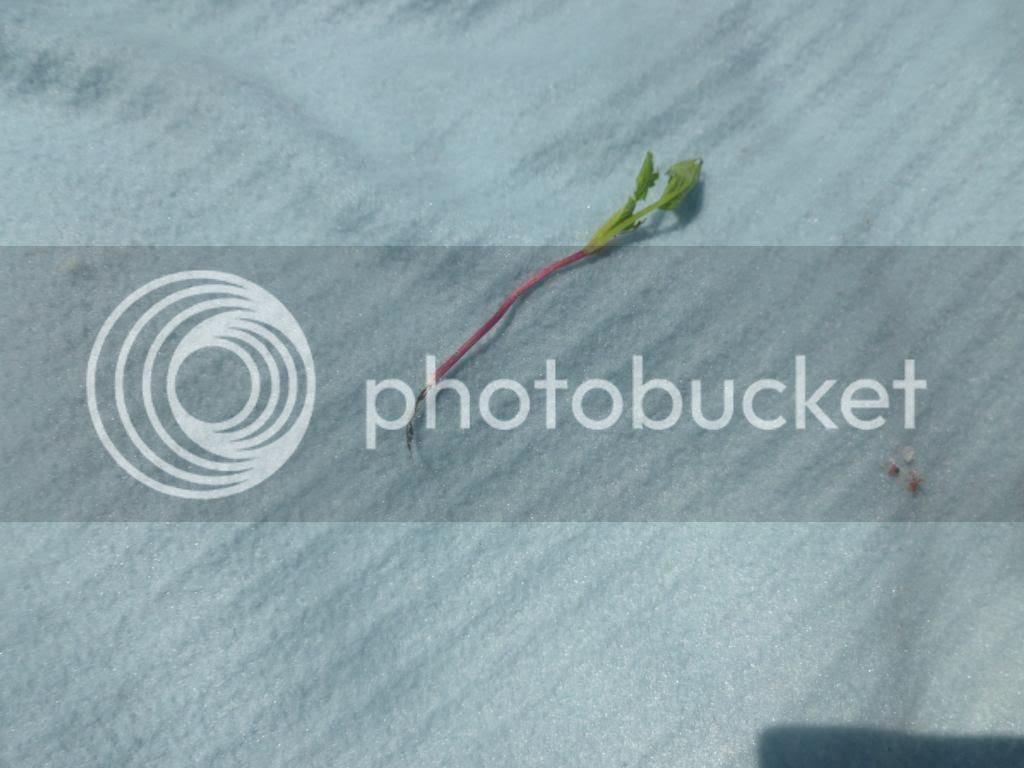 a baby radish