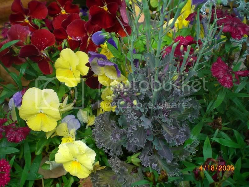 pansies and ornamental cabbage