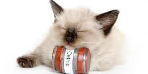 Kucing peliharaan kesayangan sobat mungkin sekarang sudah dewasa 10 Fungsi Catnip pada Kucing
