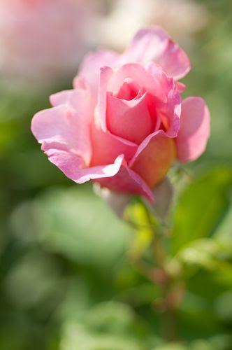 Rosa 'Tiffany'