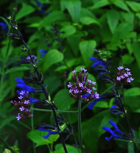 Verbena bonarensis and Salvia guaranitica 'Black and Blue'