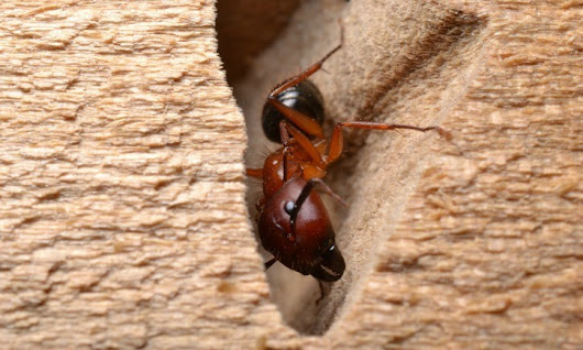 Recognize these Two Signs of Carpenter Ants