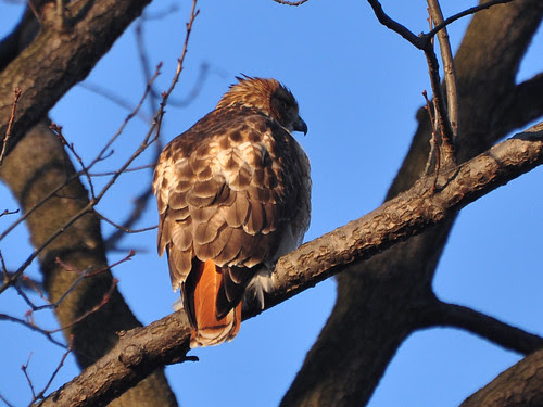Red-Tail by the North Meadow