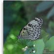 'Black and White Butterfly' Metal Print by tjtsphotography