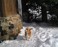 In this photo released by Natasha Baydakova on Wednesday Jan. 4,2011 showing a Welsh corgi dog named Ole that showed up at a Cooke City motel four days after the dog and its owner were swept up in an avalanche. The dog's owner died. The dog returned to this motel where they had been staying before going back country skiing. (AP Photo/Natasha Baydakova)