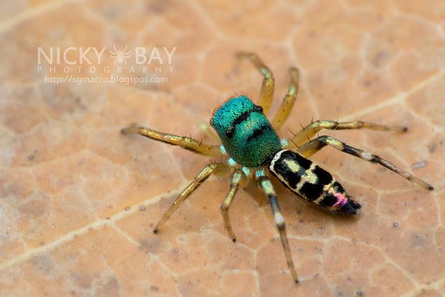 Jumping Spider (Salticidae) - DSC_4572