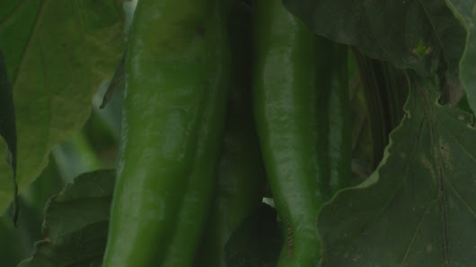 New Mexico's chile season begins earlier than normal