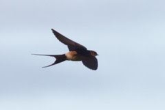 Red-rumped Swallow 120510 Cecropis daurica