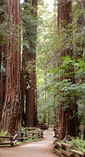 Large Redwood Picture