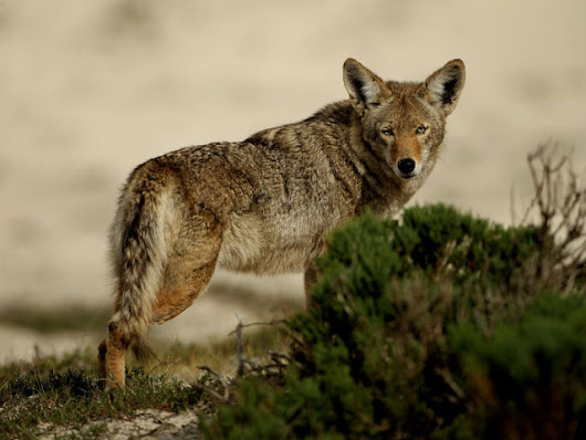 Coyote attacks on pets on rise due to pupping season