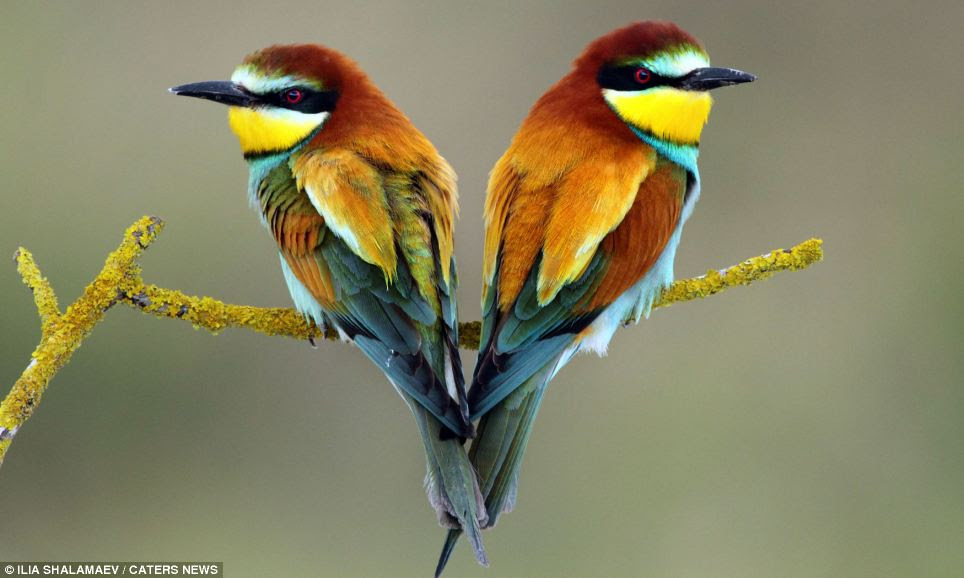 A pair of Merops during nesting period in Israel