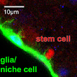 Brain stem cell quiescence needs to be actively maintained in Drosophila