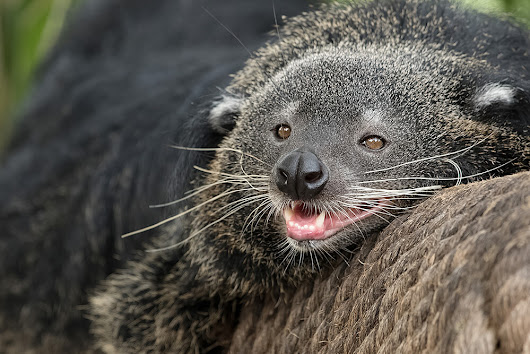 Image: Binturong | San Diego Zoo Animals & Plants