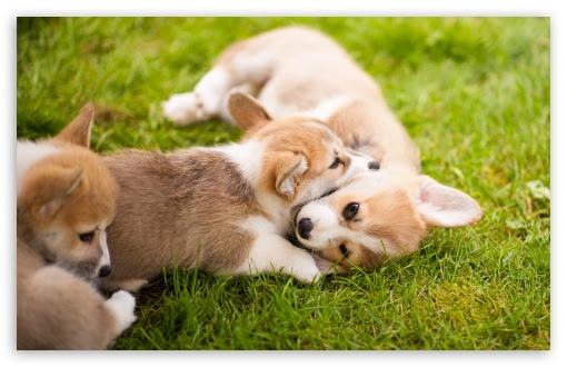 Corgi Puppies Ultra HD Desktop Background Wallpaper for 4K ...