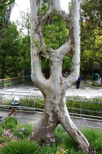 hoop tree