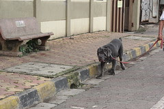Mastiff At Carter Road by firoze shakir photographerno1
