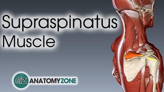 Anatomyzone google supraspinatus muscle anatomy anatomyzone ccuart Choice Image