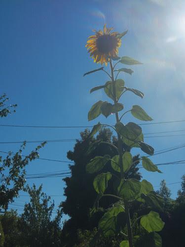 DSCN7010 - Sunflower, June 2013